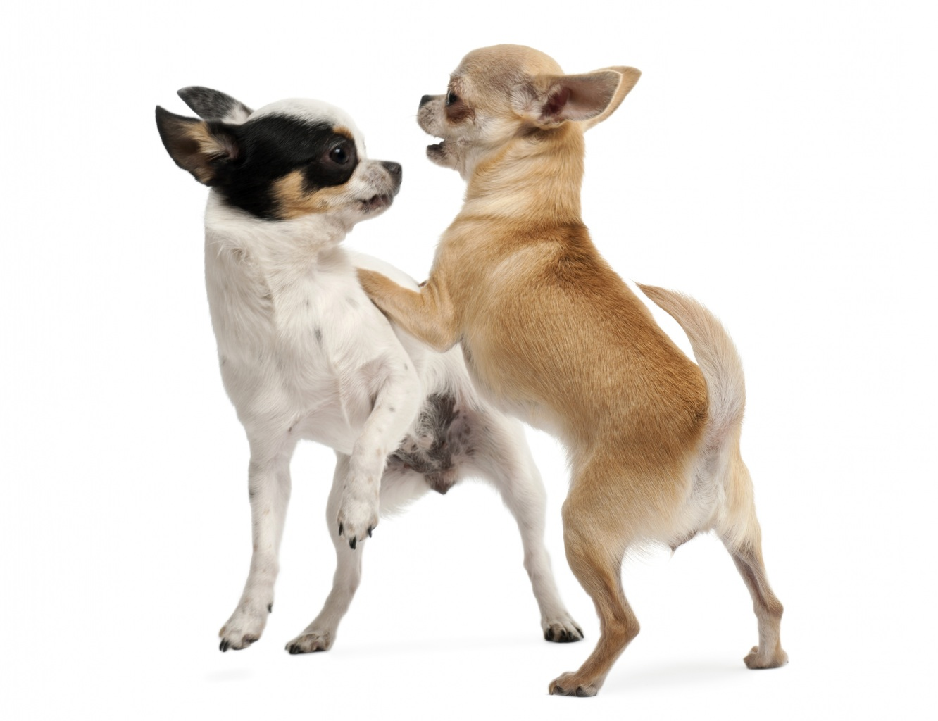 Dogs_Two_Chihuahua_443010.jpg